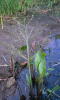 heart-leaved water plantain