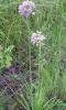 prairie wild onion