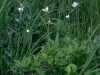 long-headed thimbleweed