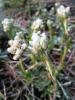 field pussytoes