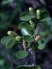 bog birch