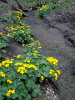 common marsh marigold