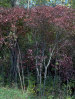 gray dogwood