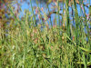 rice cut grass