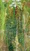 round-headed bush clover
