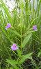 blue monkey flower