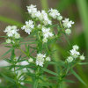 Virginia mountain mint