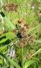 dark green bulrush