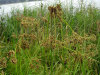 woolgrass