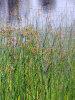 soft stem bulrush