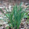 field blue-eyed grass