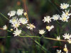 upland white aster